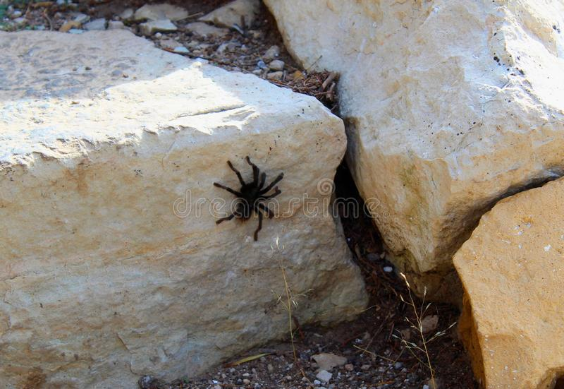 Tarantula Spider in Walnut Canyon national Monument stock photos