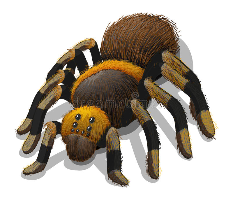 A Tarantula spider stock illustration