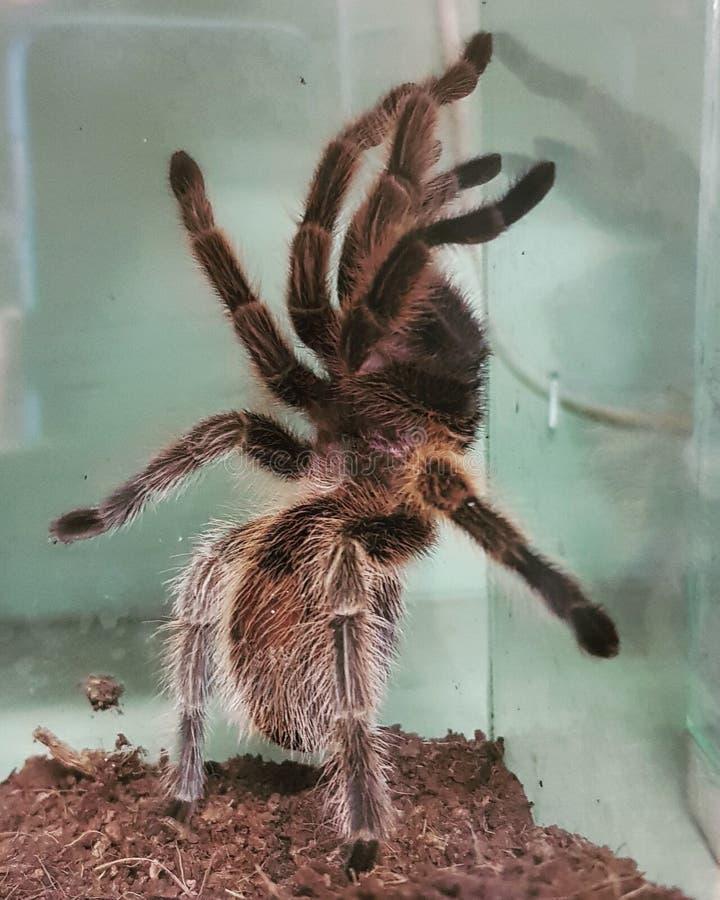 tarantula image libre de droits