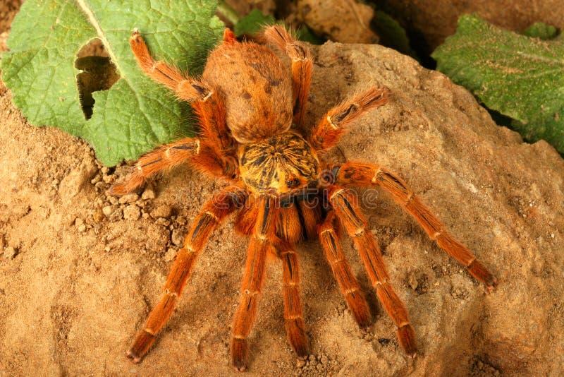 Tarantula van de Baviaan van Usambara de Oranje royalty-vrije stock foto