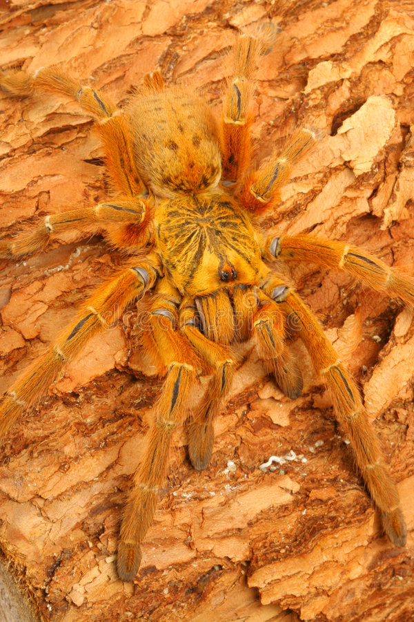 Tarantula van de Baviaan van Usambara de Oranje stock afbeelding