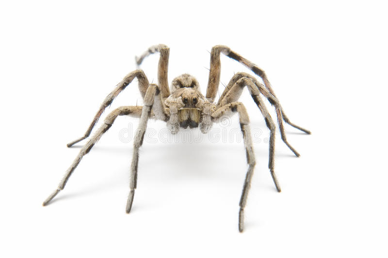 Tarantula. Wolf tarantula isolated on white background stock image