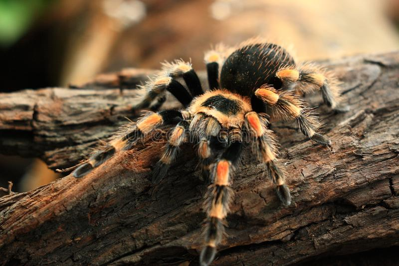The Tarantulas. Tarantulas comprise a group of large and often hairy arachnids belonging to the Theraphosidae family of spiders, of which about 900 species have stock images