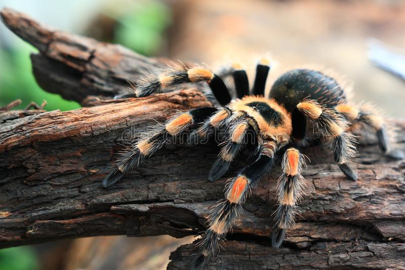 The Tarantulas. Tarantulas comprise a group of large and often hairy arachnids belonging to the Theraphosidae family of spiders, of which about 900 species have stock photo