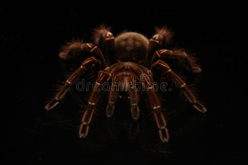 Tarantulaspin die op glas kruipen royalty-vrije stock fotografie