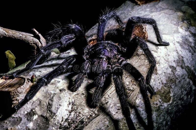 Tarantule, kosmaci pajęczaki zdjęcie royalty free