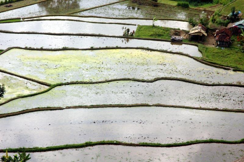 taras ryżu zdjęcia royalty free