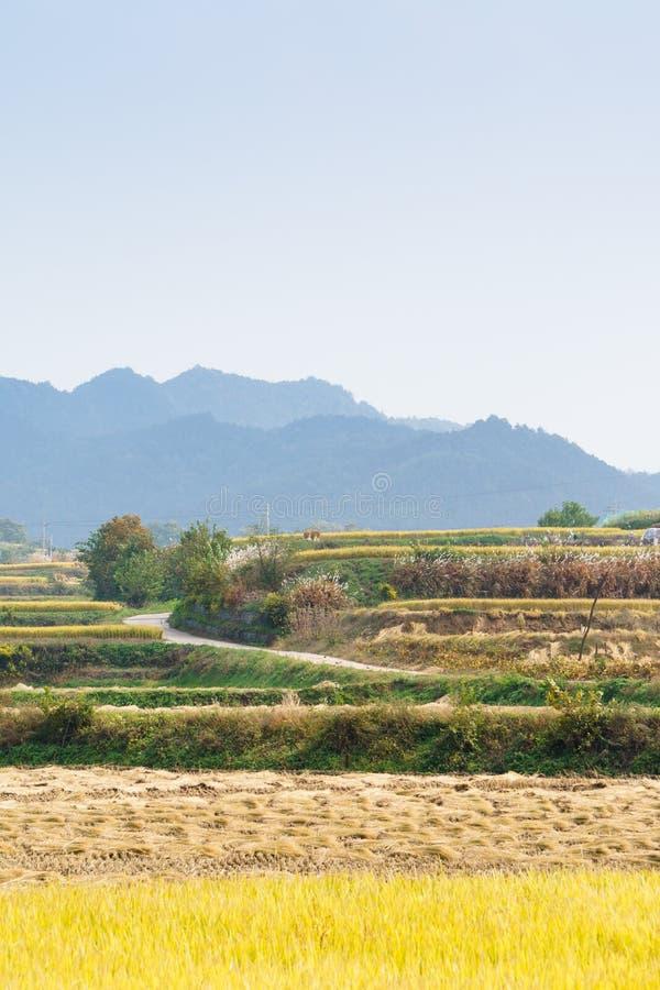 Tarasowaty ryżu pole w jesieni zdjęcia royalty free