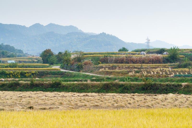 Tarasowaty ryżu pole w jesieni obraz royalty free