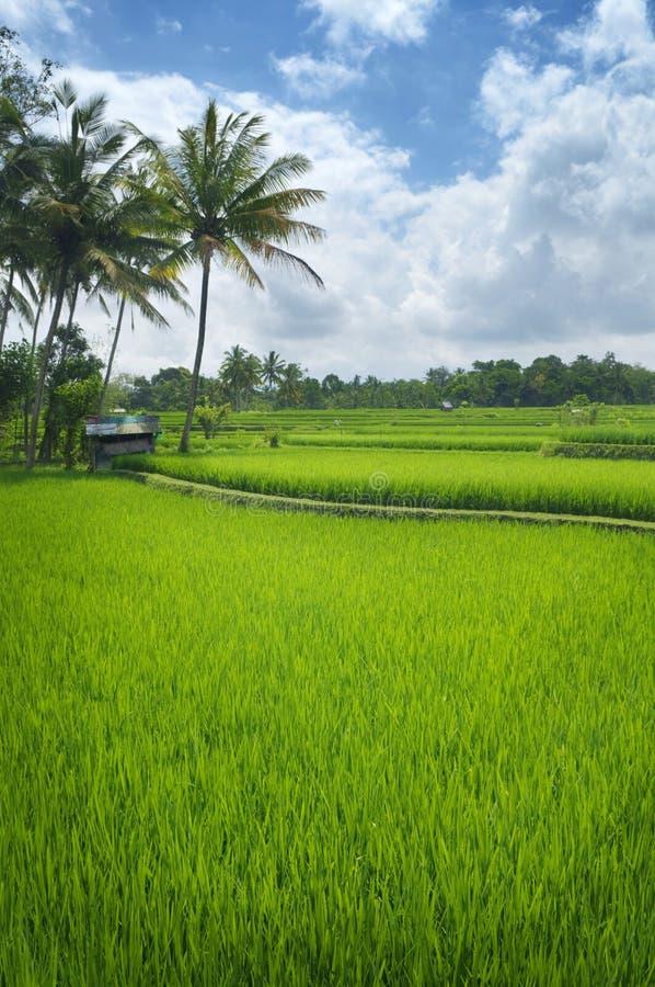 Tarasowi ryżowi pola fotografia stock