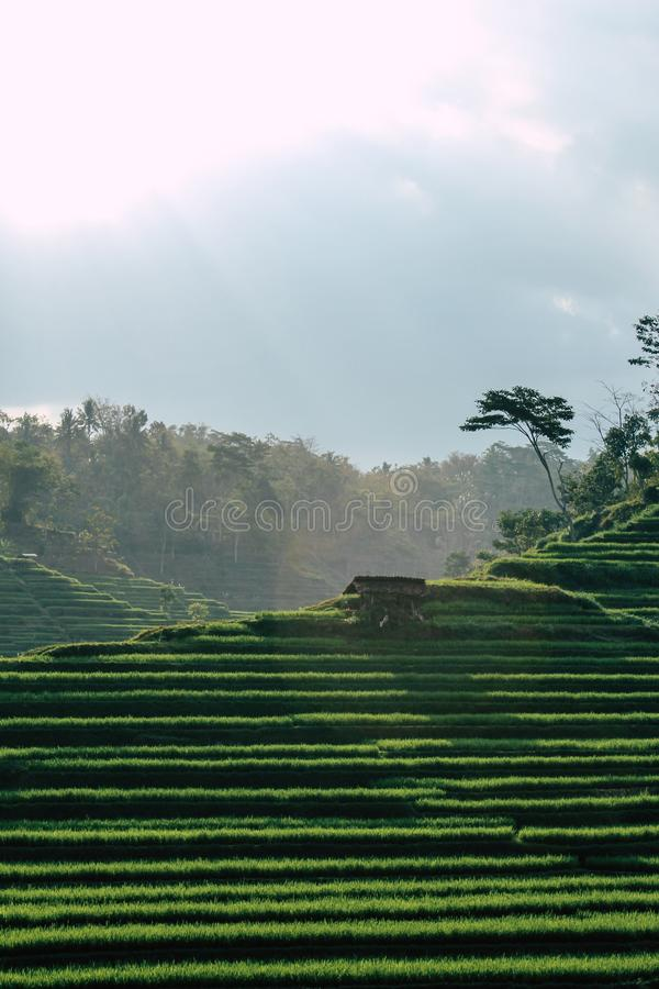 Tarasowy ryżu pole obrazy royalty free