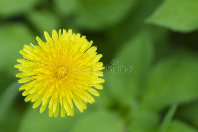 Taraxacum amarelo do dente-de-leão da flor do close up em um fundo das folhas verdes no jardim foto de stock royalty free