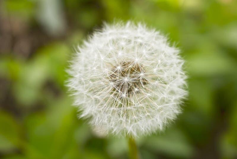 Taraxacum blanco grande en hierba imagen de archivo