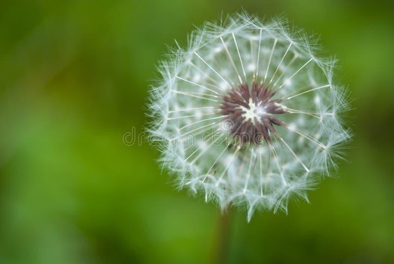 Taraxacum-Blume, Italien stockbild