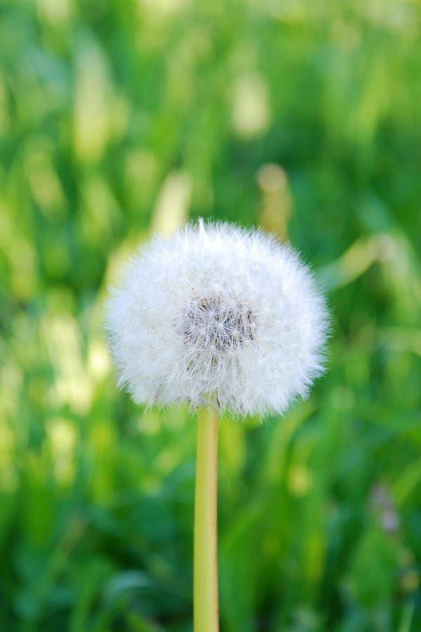 Taraxacum de Wallpaper-dandelion/ fotografia de stock royalty free