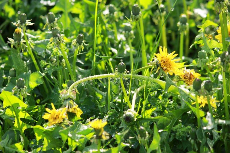 Taraxacum ensolarado dos dentes-de-leão após a chuva com gotas da água nas hastes e nas folhas foto de stock