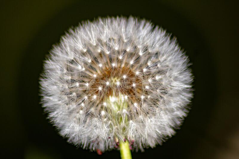 Taraxacum erythrospermum, known by the common name red-seeded dandelion, is a species of dandelion found in much of North America,. But most commonly in the stock photos