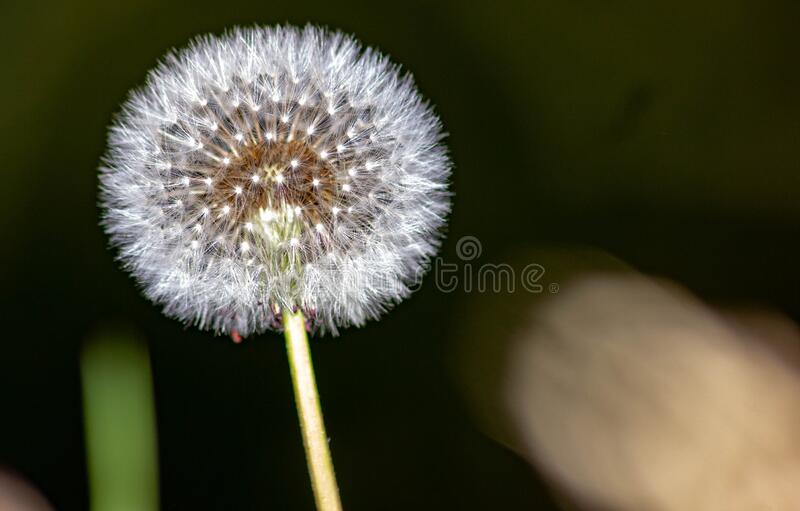 Taraxacum erythrospermum, known by the common name red-seeded dandelion, is a species of dandelion found in much of North America,. But most commonly in the stock image