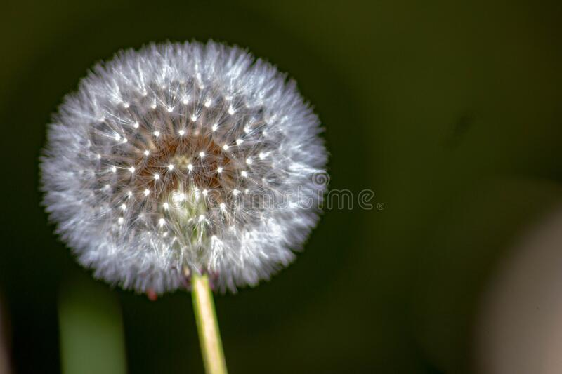 Taraxacum erythrospermum, known by the common name red-seeded dandelion, is a species of dandelion found in much of North America,. But most commonly in the royalty free stock photos