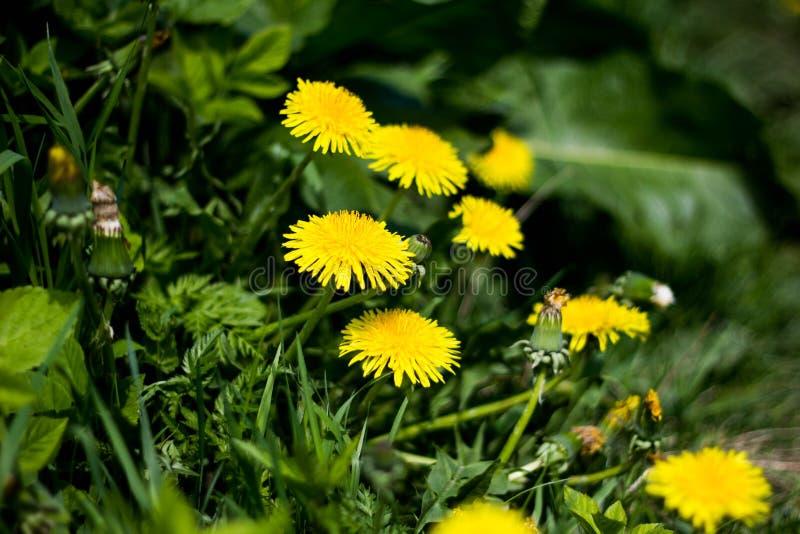 Taraxacum Officinale Diversos dentes-de-leão amarelos brilhantes com as folhas verdes no close-up luxúria da grama imagem de stock royalty free