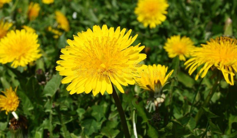 Taraxacum officinale, yellow dandelion royalty free stock photos