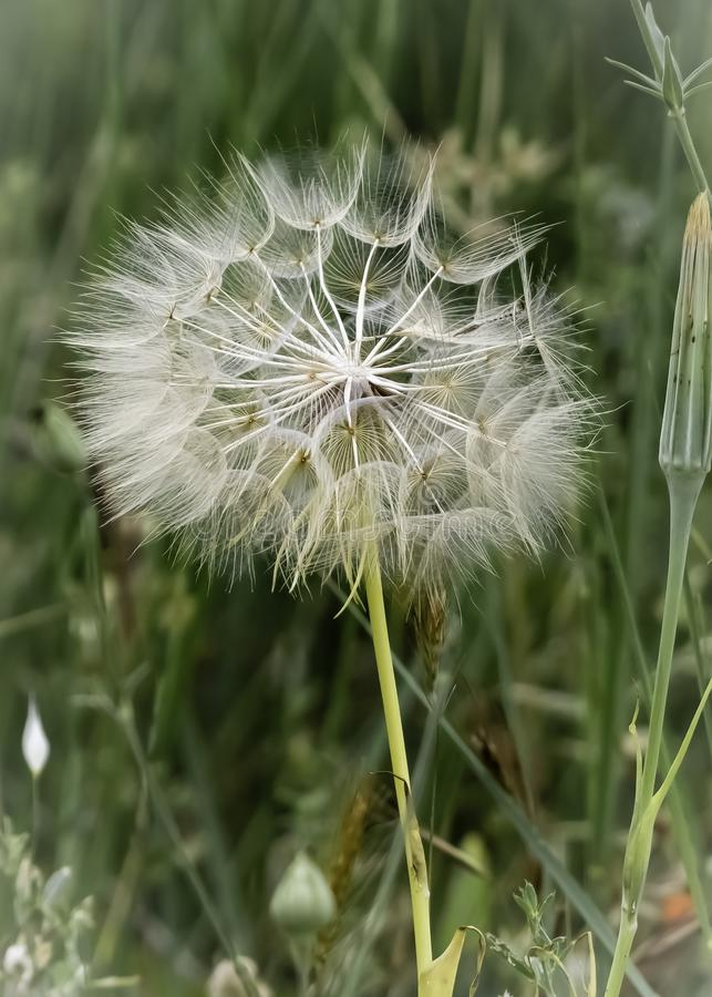 Taraxacum officinaleCommon Dandelion take with macro photografy stock photo