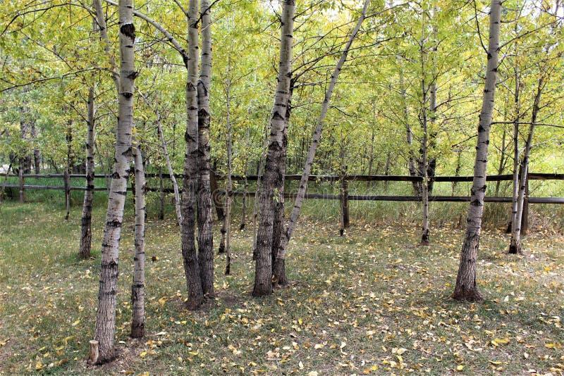 Tarde pacífica debajo de Aspen Trees imagen de archivo