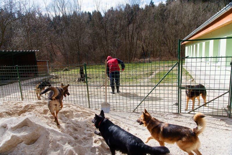 Tarefas rotineiras diárias no abrigo do cão com um homem e um par de cães fotografia de stock