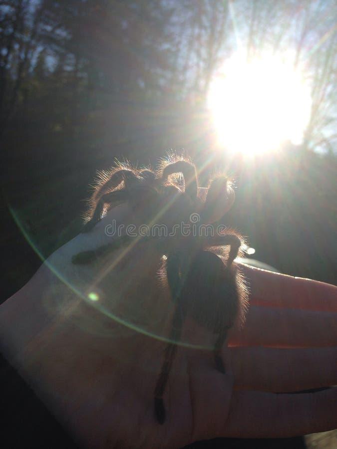 Tarentule au soleil photo stock