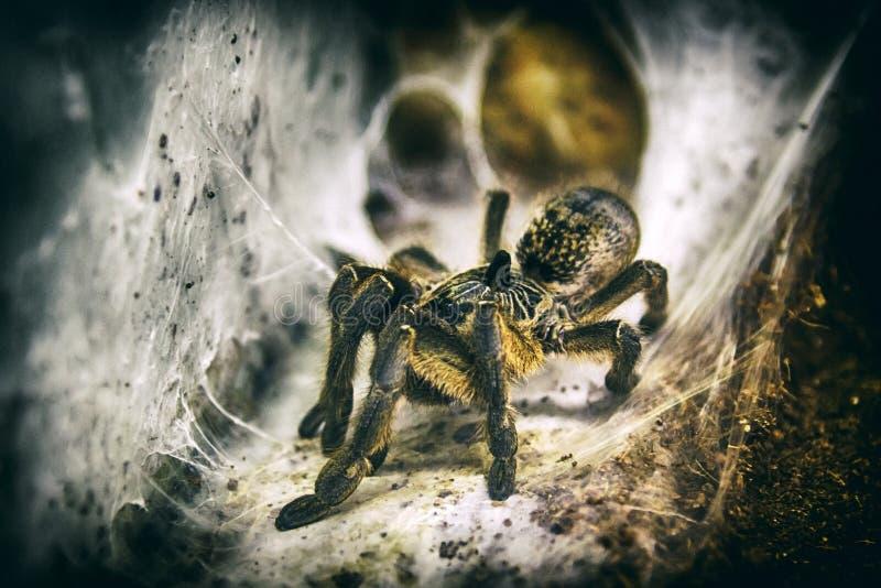 Tarentule d'araignée se reposant sur le Web photo stock