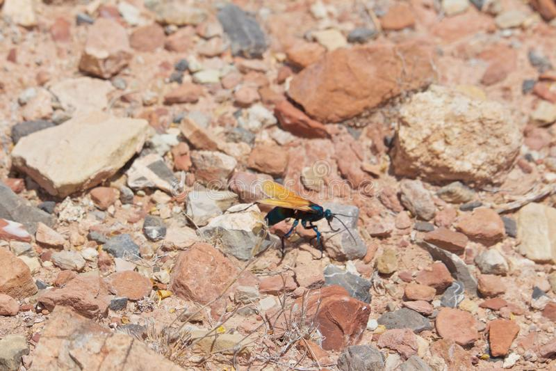 Tarentule Hawk Moving Along Rock photo libre de droits