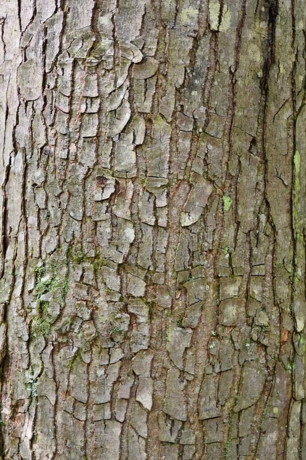 Target Canker On Red Maple Tree Bark Stock Image Image Of