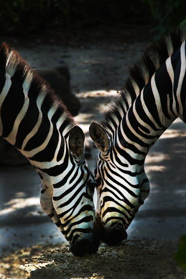 target385_1_ zebra dwa zdjęcie stock
