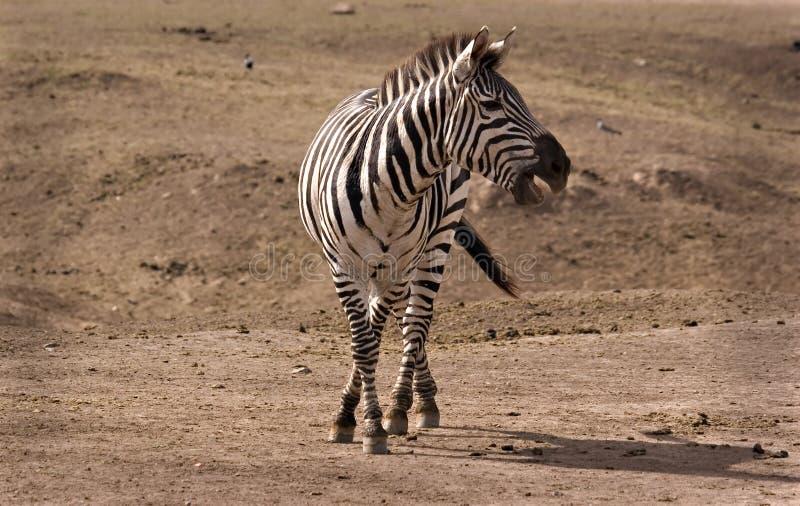 target2734_0_ zebra zebry obraz royalty free