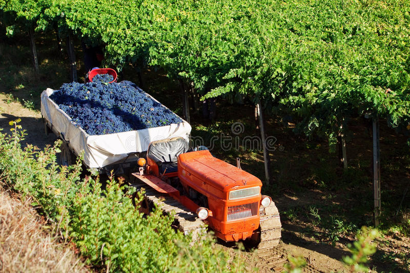 TARGET543_0_ czerwoni winogrona obraz royalty free