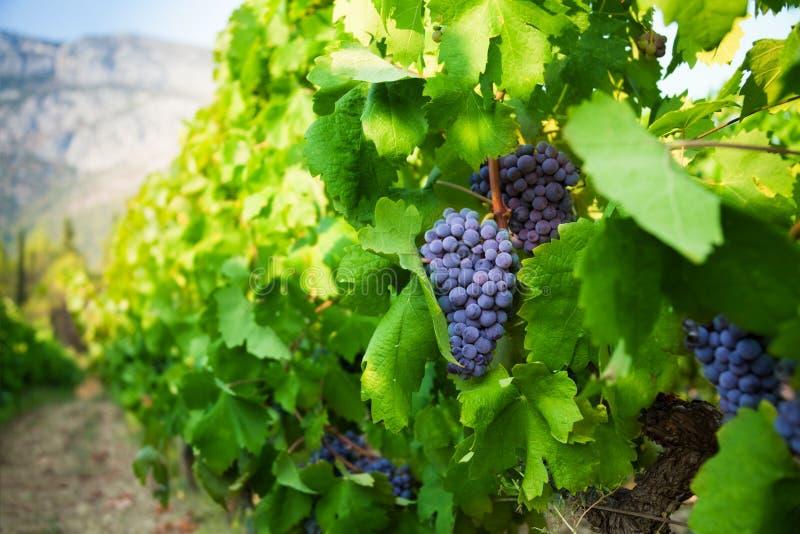 TARGET674_1_ w dolinie dojrzali soczyści winogrona fotografia stock