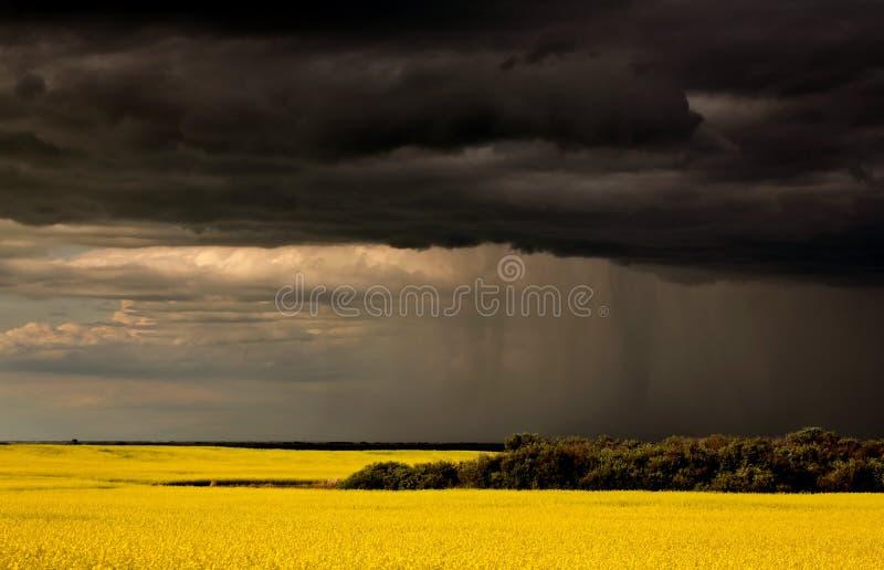 target69_0_ canola uprawy przodu deszcz Saskatchewan obrazy stock