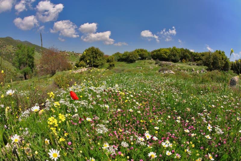 target710_0_ jaskrawy śródpolna kwiatu łąki wiosna fotografia royalty free