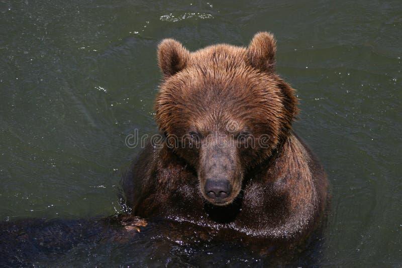target847_1_ niedźwiadkowy kodiak fotografia royalty free
