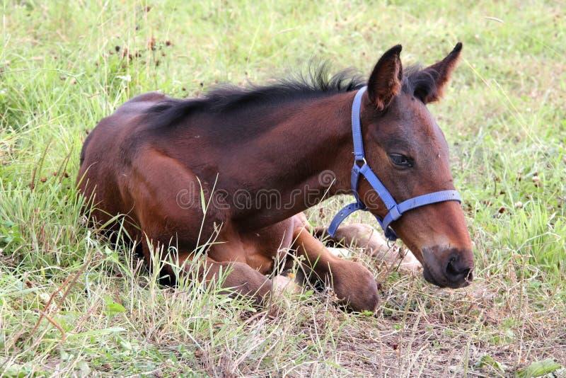 TARGET892_0_ na trawie mały źrebię fotografia stock