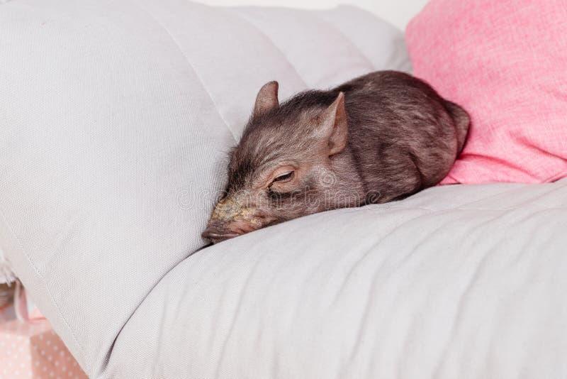 Tarjeta de la Navidad y del Año Nuevo con el cerdo negro recién nacido lindo en el sofá Símbolo de las decoraciones del calendari foto de archivo