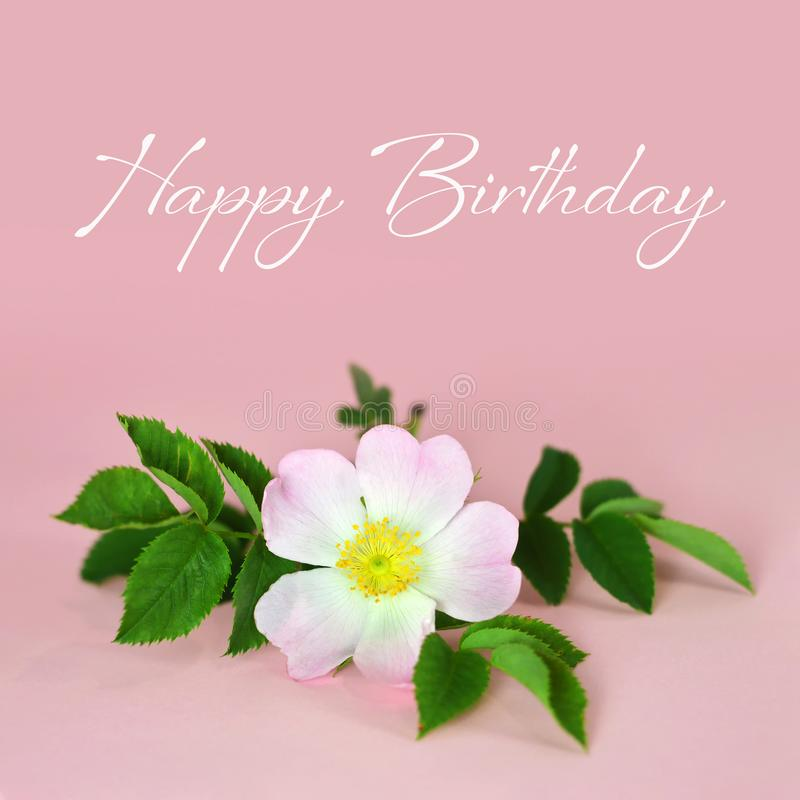Tarjeta del feliz cumpleaños con la rosa en fondo rosado fotos de archivo libres de regalías