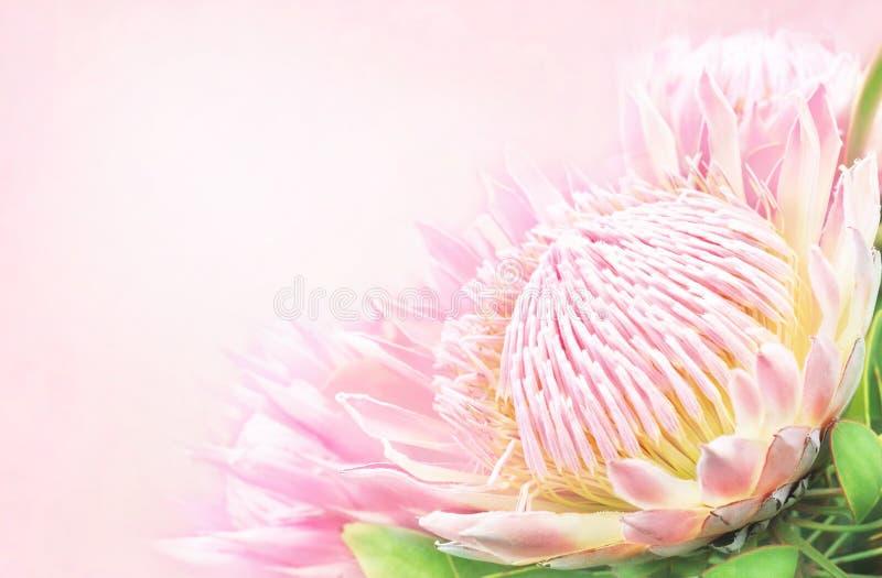 Tarjeta floral festiva floreciente de las flores delicadas del protea del verano fotos de archivo