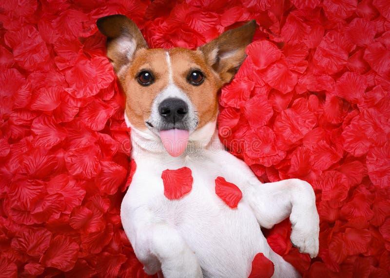 Tarjetas del día de San Valentín color de rosa del amor del perro imagenes de archivo