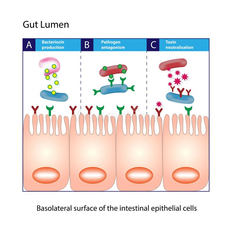 TarmkanalLumen Columnar epithelial celler stock illustrationer