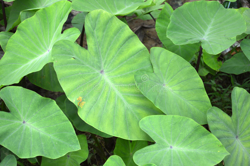 Taro φύλλο στοκ εικόνες
