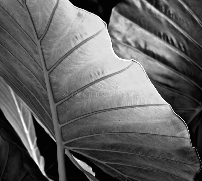 Taro Colocasia Esculenta för sidor för elefantöra svart & vit/detalj fotografering för bildbyråer