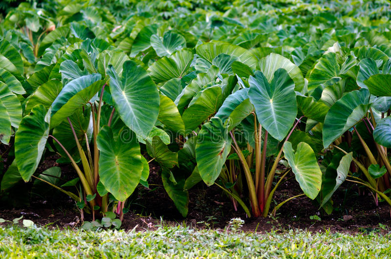 Taro crops royalty free stock photography
