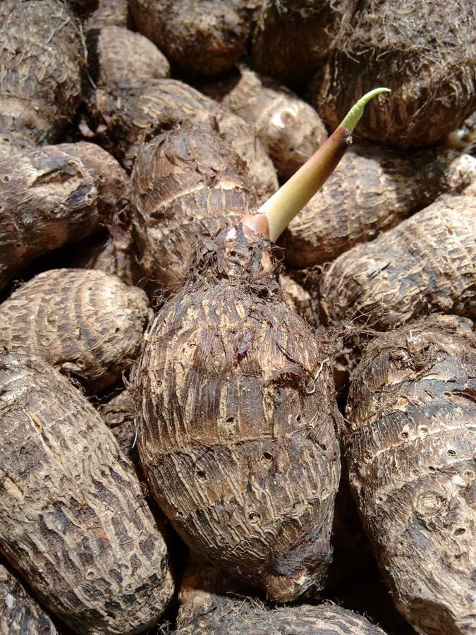 Taro de germination photos libres de droits