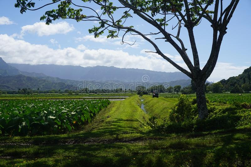 Taro Farm Kauai royalty free stock photos